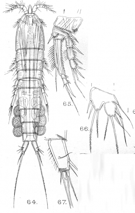 Schizopera consimilis from Sars, G.O. 1909