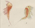Amphiascus cinctus from Brian, A 1921