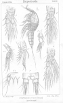 Amphiascus cinctus from Sars, G.O. 1906