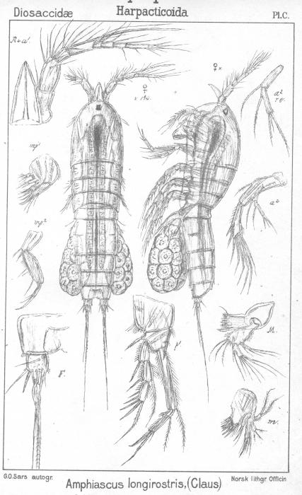 Amphiascus longirostris from Sars, G.O. 1906