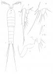 Amphiascus parvulus from Brian, A 1921