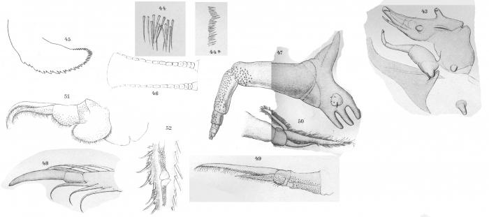 Argulus natterei from Thiele 1904