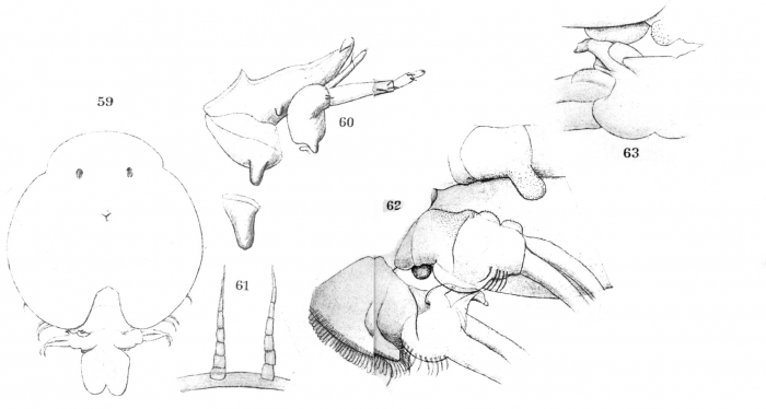 Argulus salminei from Thiele 1904