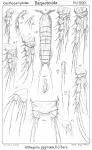 Attheyella pygmaea from Sars, G.O. 1907