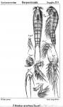 Bradya armifera from Sars, G.O. 1911