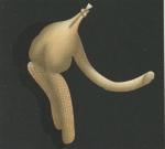 Clavella emarginata from Brian, A 1906