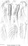 Cletodes leptostylis from Sars, G.O. 1920