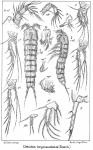 Cletodes longicaudatus from Sars, G.O. 1909