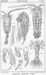 Diaptomus laciniatus from Sars, G.O. 1902