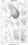 Doropygus psyllus from Sars, G.O. 1921