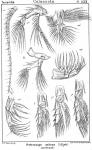 Heterocope saliens from Sars, G.O. 1902