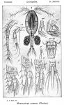 Mesocyclops crassus from Sars, G.O. 1914