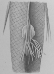 Rebelula edwardsii from Brian, A 1906
