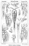 Idyaea tenella from Sars, G.O. 1911