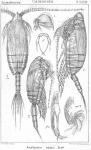 Amallophora magna from Sars, G.O. 1902