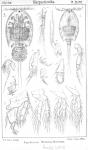 Aspidiscus fasciatus from Sars, G.O. 1904
