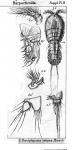 Dactylopusia latipes from Sars, G.O. 1911