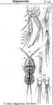 Idya elegantula from Sars, G.O. 1905