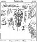 Idyopsis dilatata from Sars, G.O. 1905