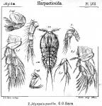 Idyopsis pusilla from Sars, G.O. 1905
