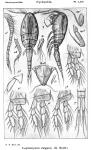 Leptomyzon elegans from Sars, G.O. 1915