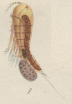 Microthalestris littoralis from Brian, A 1921