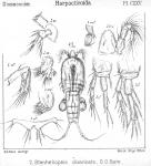Stenheliopsis divaricata from Sars, G.O. 1906