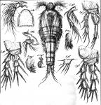 Stenheliopsis latifurca from Sars, G.O. 1911