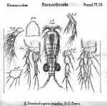 Stenheliopsis media from Sars, G.O. 1911