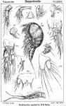 Westwoodia assimilis from Sars, G.O. 1906