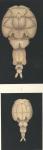 Elytrophora brachyptera from Brian, A 1906