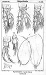 Halithalestris croni from Sars, G.O. 1905