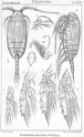 Amallophora brevicornis from Sars, G.O. 1902