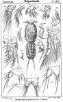 Dactylopodia brevicornis from Sars, G.O. 1905