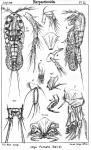 Idya furcata from Sars, G.O. 1905