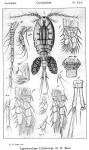 Leptocyclops lilljeborgi from Sars, G.O. 1914