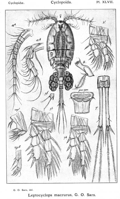 Leptocyclops macrurus from Sars, G.O. 1914