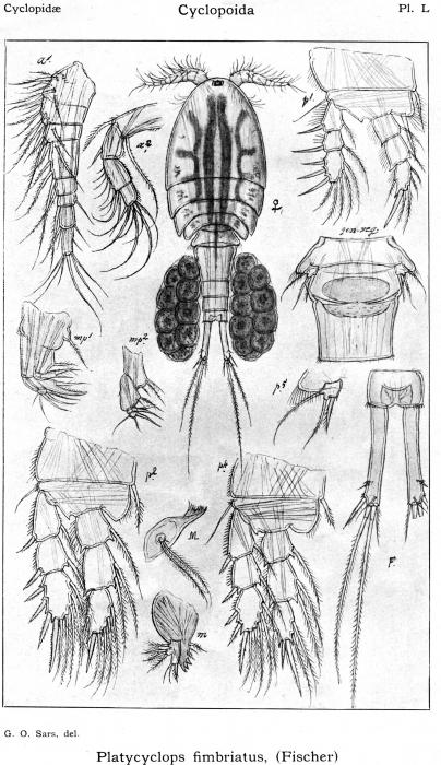 Platycyclops fimbriatus from Sars, G.O. 1914