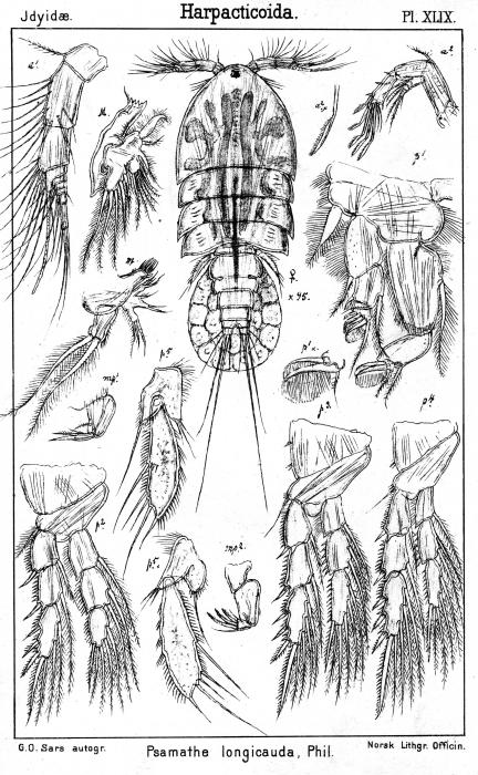Psamathe longicauda from Sars, G.O. 1905