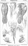 Westwoodia nobilis from Sars, G.O. 1906