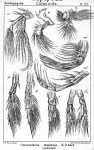 Limnocalanus macrurus from Sars, G.O. 1902