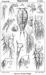 Idomene forficata from Sars, G.O. 1906