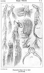 Paracartia grani from Sars, G.O. 1919