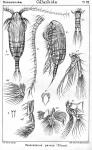 Paracalanus parvus from Sars, G.O. 1901