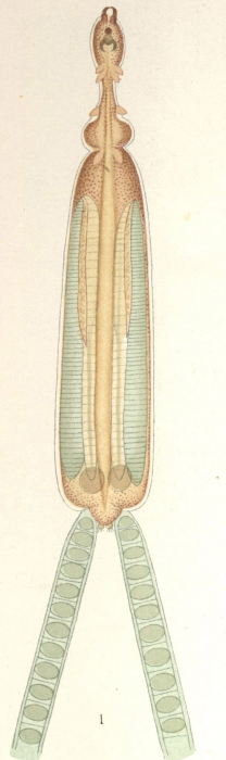 Peniculus fistula from Nordmann, 1832