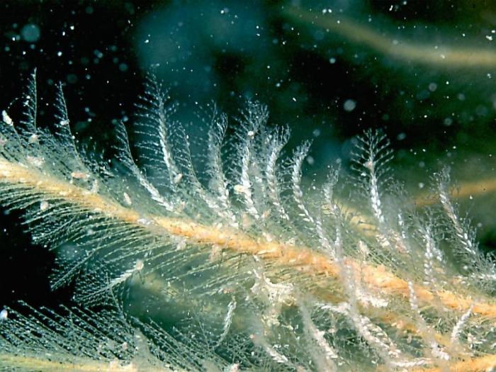 Plumularia setacea  (Linnaeus, 1758)