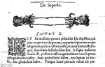 Figure in Rondelet (1553) cited by Linnaeus (1758) for <i>Sepia sepiola</i>