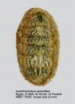 Acanthochitona penicillata