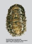 Acanthopleura brevispinosa