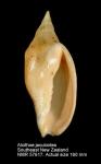 Volutidae